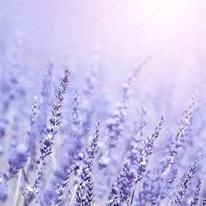 Lavender Flower Background Images | www.pixshark.com ...