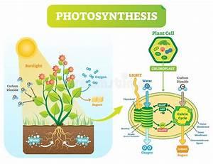 Photosynthesis Plan Text Stock Illustration  Illustration