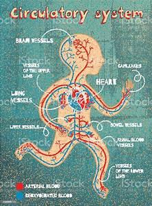 Vector Cartoon Illustration Of Human Circulatory System