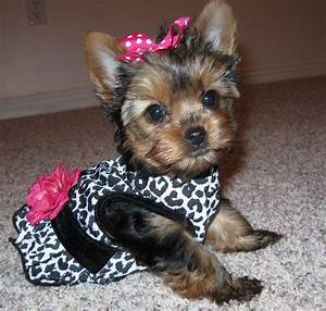 doggy outfits | bella-a-teacup-yorkie-terrier-dog | Teacup ...