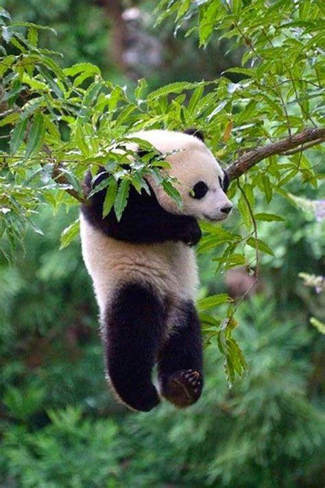 panda   tree luvbat
