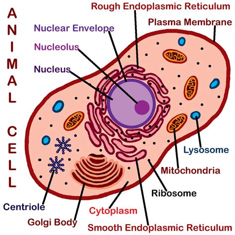 Diagram Part Of A Cell by Animals Cell Labeled Biological Science Picture