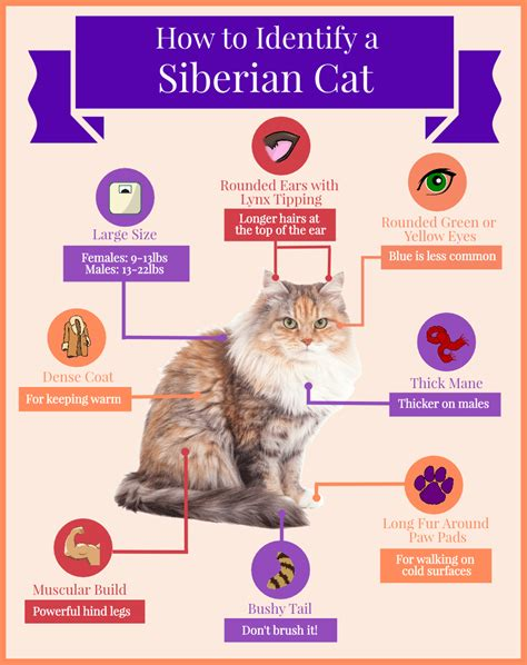 siberian cat breed behavior personality temperament