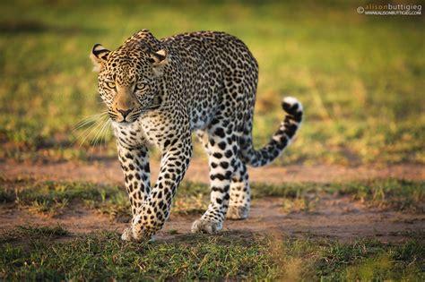 leopards alison buttigieg wildlife photography