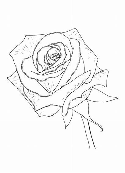 Coloring Rose Pages Realistic Desktop Mothers Background