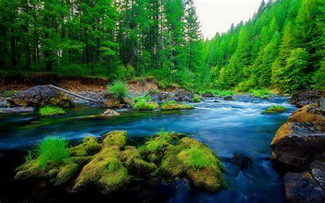 Green Pine Forest River Rock Beautiful Nature Hd Wallpaper