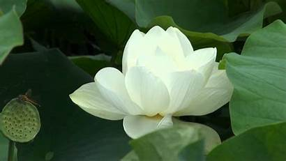 Lotus Flower Wallpapers Definition Backgrounds