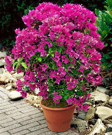 care of bougainvillea in pots the world s catalog of ideas