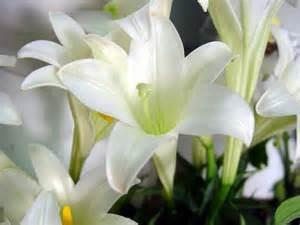 lilies flower 天香百合 图片 互动百科
