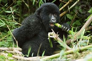 Mountain gorilla eating bamboo, Parc des Virungas ...