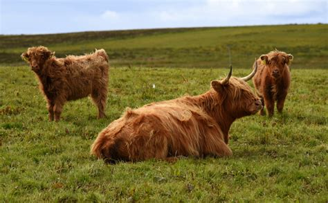 Highland Cattle Stock Photos And Pictures