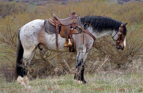 draft horse cross horses gelding quarter appaloosa mare belgian western breeds wyoming goose mix roan buckskin american pretty percheron bay