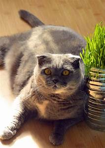Scottish Fold Cats  A Complete Guide