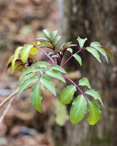 Elderberry With Yellow Leaves - Treating Yellowing Leaves ...