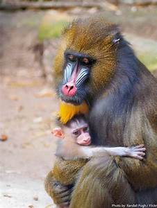 Interesting facts about mandrills   Just Fun Facts