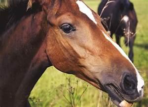 heat, stroke, in, horses