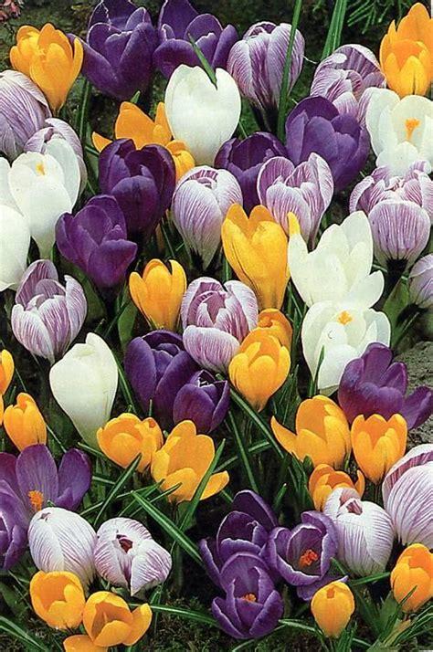 Pavasara ziedi - Spoki - bildes 2