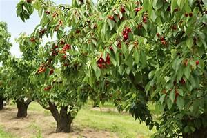 Cherry Tree Types