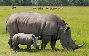 Javan Rhinoceros | www.imgkid.com - The Image Kid Has It!