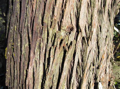 cypress tree bark steve harper sargent cypress