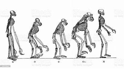Anthropoid Apes Illustration Scientific Medical Antique Evolution
