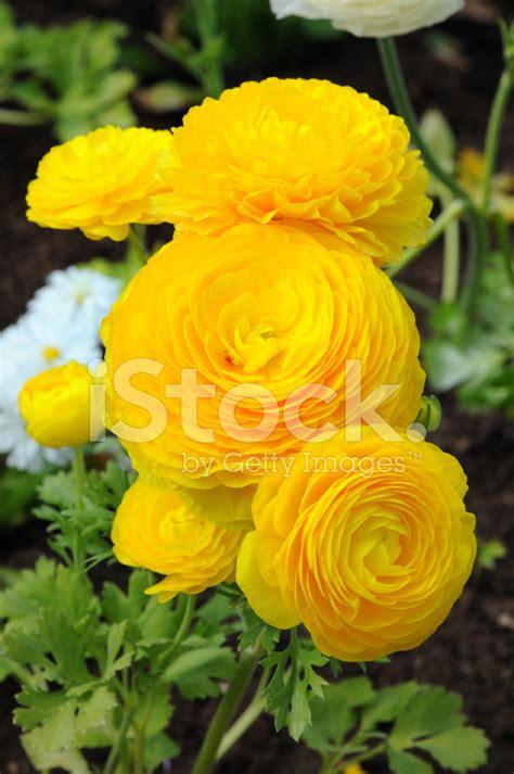 Ranunkel Orange Yellow Buttercups Flower Stock Photos