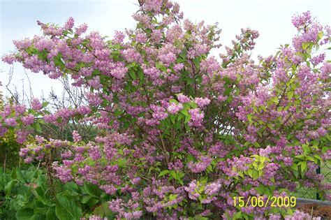 Sträucher Die Im Sommer Blühen by Bl 252 Tenhecke Als Gartengrenze Meine Gartengestaltung