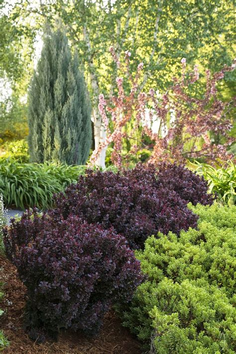 bush in japanese 621 best bushes and shrubs images on pinterest shrubs bushes and shrubs and dwarf shrubs