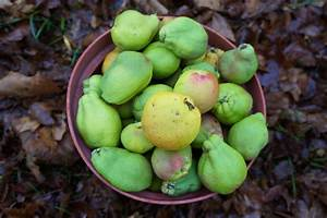 Japanese Quince Paste   Along the Grapevine