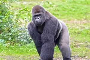 Gorilla Angry Fighting