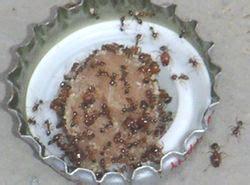 Ameisen Bekämpfen In Der Wohnung