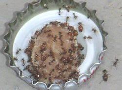 Ameisenplage Im Haus : bek mpfung von ameisen ameisenwiki ~ Orissabook.com Haus und Dekorationen