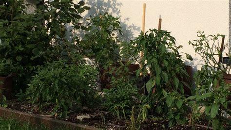 Impressionen Aus Dem Chili Garten  Es Wächst Und Gedeiht
