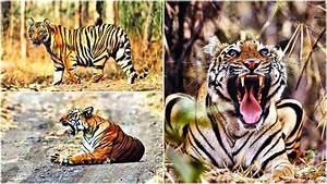Maharashtra: Tigers galore at Tipeshwar wildlife sanctuary ...