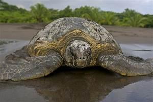 Sea Turtle Species — SEE Turtles