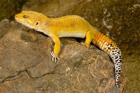 leopard gecko colors common leopard gecko facts habitat diet lifespan pictures