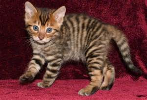 toyger cats the toyger wallpapers animals library