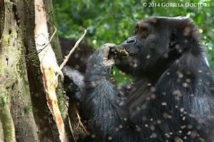 59 best Silverback Gorillas images on Pinterest   Monkeys ...