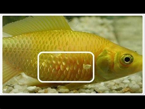 aquarium fish disease troubleshooting prevention youtube