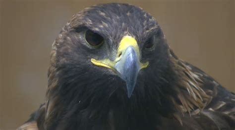 lead poisoning a hazard for birds of prey ctv calgary news