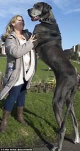 Biggest dog in the world is 7ft 6in Great Dane who loves ...