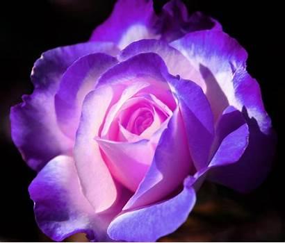Purple Rose Things Roses Lavender Violet Dark