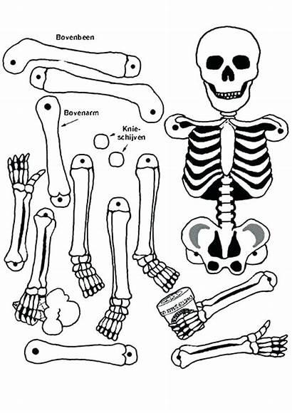 Skeleton Coloring Anatomy Human Bones Pages Bone
