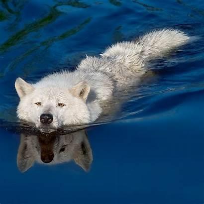 Wolf Arctic Tundra Animals Animales Wolves Gray