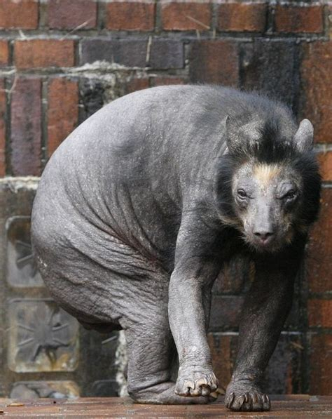 Hairless Bear Meme - index of wp content images 2012 03 adorable baby animals monsters