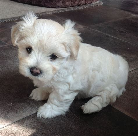 Do Morkie Poos Shed by I Dogs Fluffy Dogs That Don T Shed Hypoallergenic