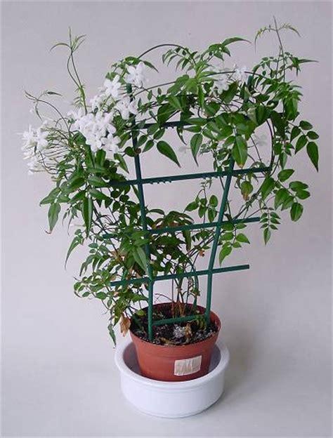 jasminum polyanthum kletter jasmin