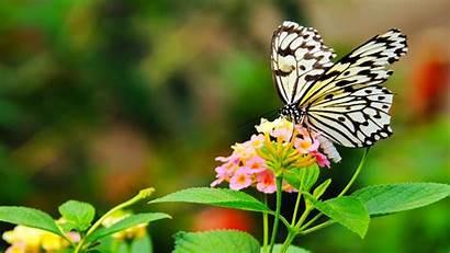 4k Ultra Butterfly Papillon Kupu Cantik Mariposa