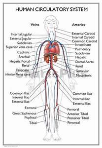 Human Body Anatomical Diagram