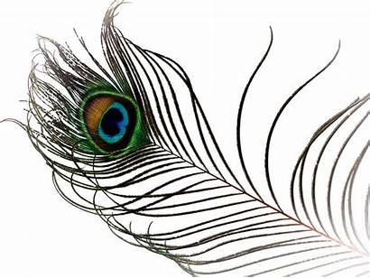 Peacock Feather Photograph Clipart Feathers Clip Library
